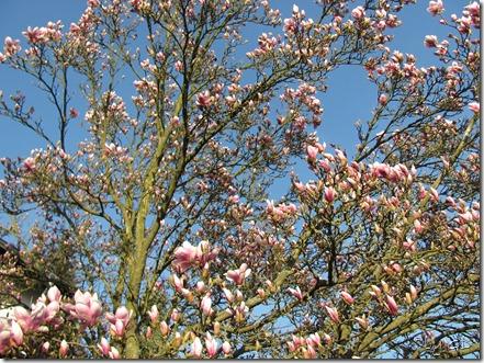 Magnolienbaum in Nachbars Garten