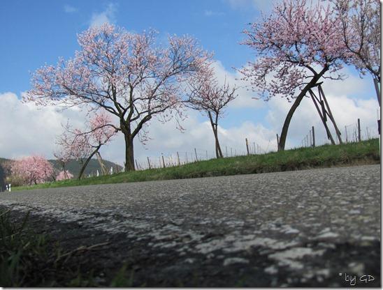 Mandelblüte 2011 014