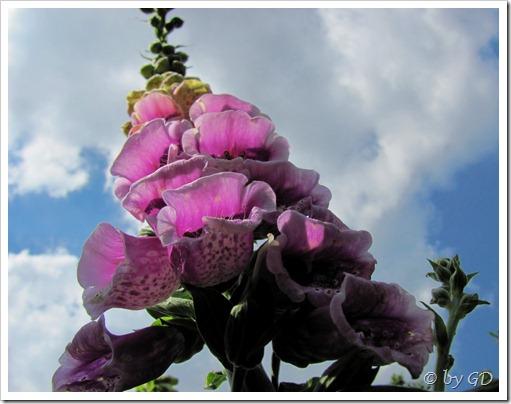 Gartenblumen im Mai 2011 009