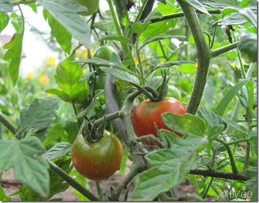 Die ersten Tomaten 2011