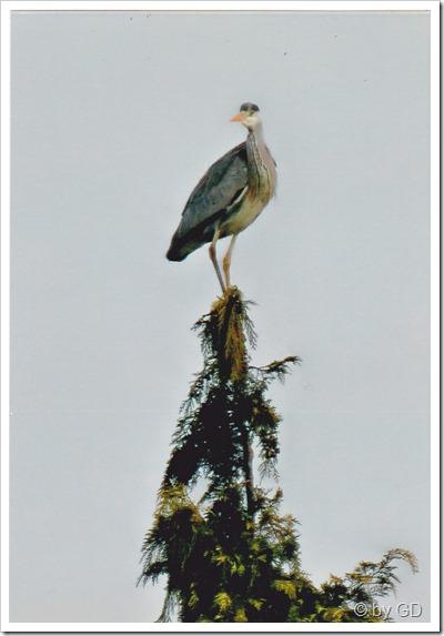 Fischreiher auf dem Baum